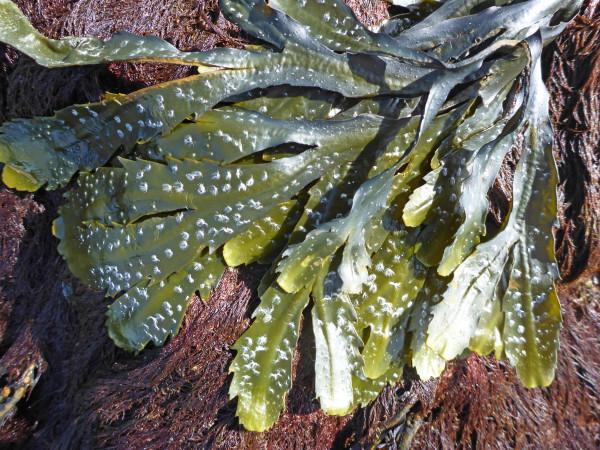 Gezaagde zee-eik